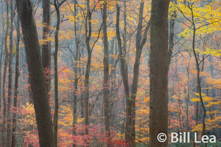 Fall colors of a cove hardwood forest - Great Smoky Mountains National Park